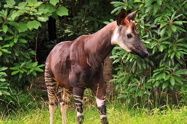 シマウマに見えるオカピ。。アフリカの熱帯雨林の動物 ...