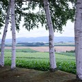 Photos: HDR 三愛の丘展望台 白樺の木と畑群