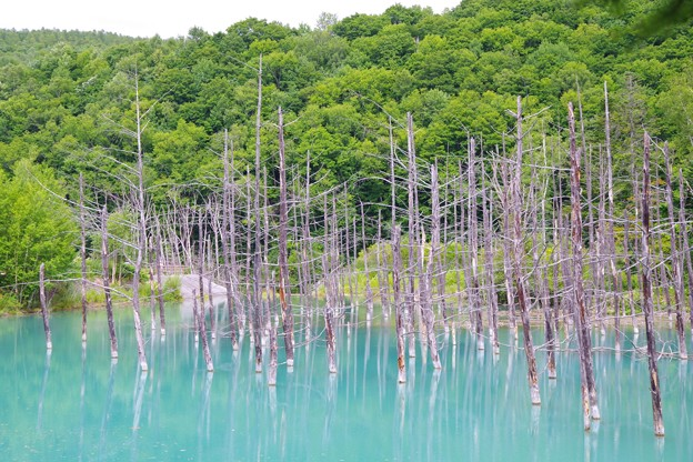美瑛 白金温泉にある青い池・・?