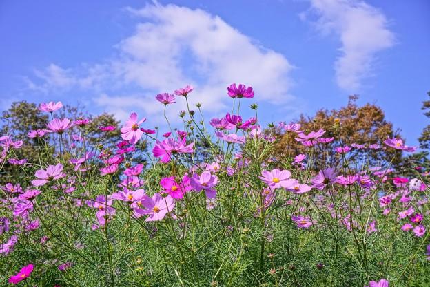 青空の下、昭和記念公園の花の丘のコスモス HDR・・20121020