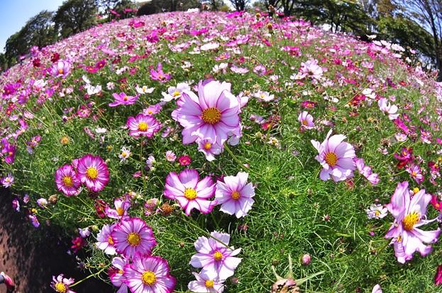 昭和記念公園の花の丘のコスモスを魚眼で?・・20121020