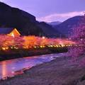 日暮れ時、河津川の河津桜ライトアップされて・・20130302