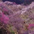梅のふるさとの風景・・吉野梅郷 20130316