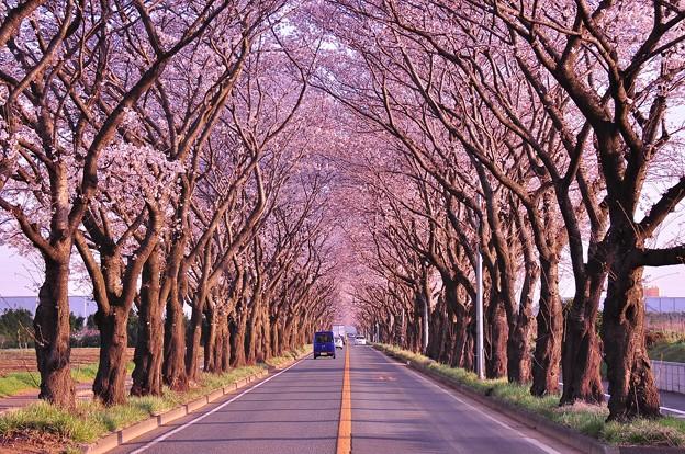 朝日の中でまばらな車走って。。海軍道路桜並木・・20130323