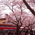日本では見れない横須賀基地内マクドナルド前にサクラ・・20130324