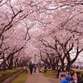 横須賀基地内の広場もお花見・・20130324