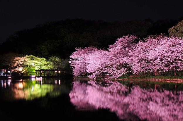 三渓園のさまざまな夜桜風景 これで2013年桜終わり?・・20130326