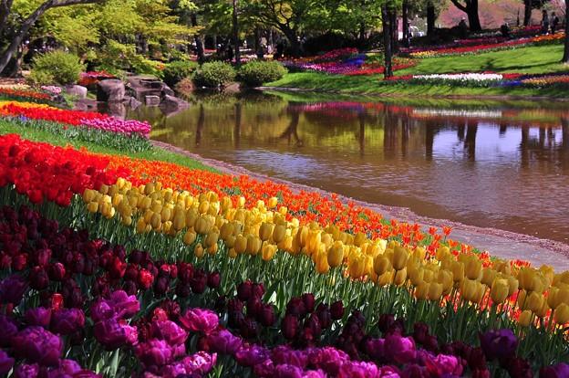 異国に来た雰囲気もある風景。。チューリップ。。昭和記念公園 20130413