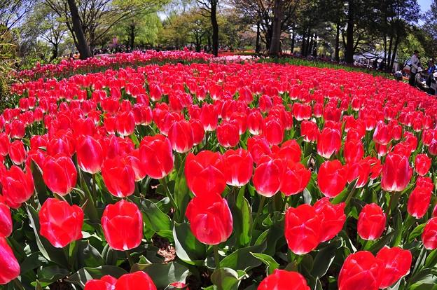 赤いカーペットみたいなレッドチューリップ・・昭和記念公園20130413