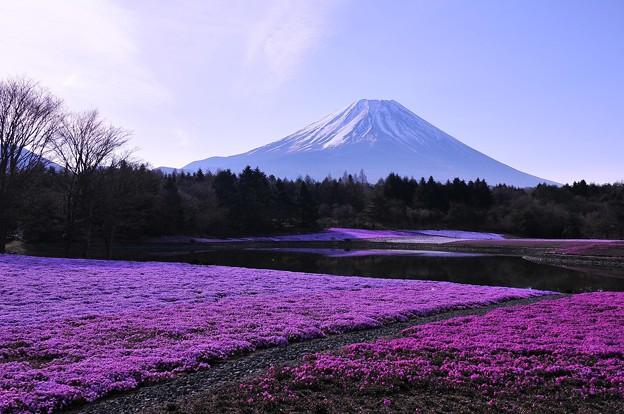 静寂な朝の富士芝桜と富士山・・・20130429