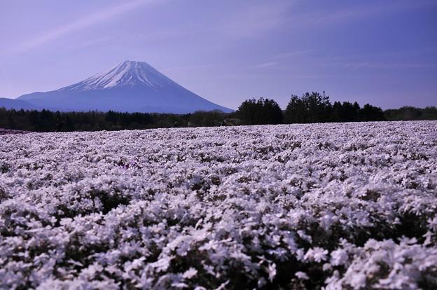 紅白の白組・・朝露芝桜と富士山・・20130429