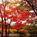 庭園の池周りの紅葉・・昭和記念公園20131109