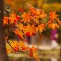写真: 秋の終わり前に鮮やかな。。紅葉・・昭和記念公園20131109