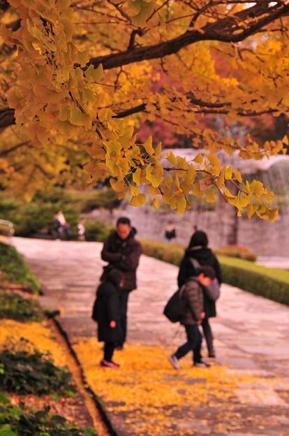 家族で落ち葉拾い・・カナール噴水イチョウ 昭和記念公園20131109