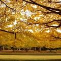 写真: カナール噴水のイチョウのカーテン・・昭和記念公園20131109