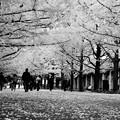 カナール噴水のイチョウ並木はなにか寂しくなる風景・・昭和記念公園20131109