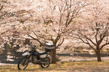 下北山スポーツ公園の桜・4