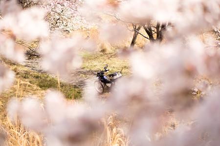下北山スポーツ公園の桜・7