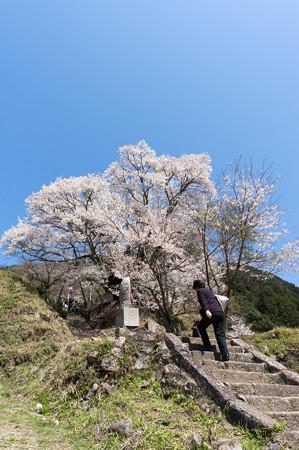 佛隆寺の桜・2013-2