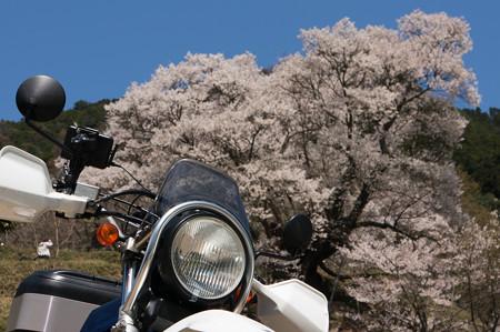 佛隆寺の桜・2013-8