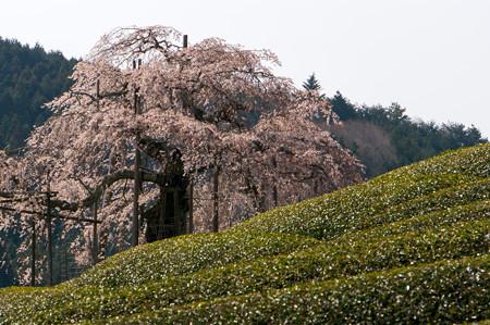 畑のしだれ桜・3
