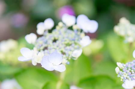 加茂花菖蒲園の紫陽花