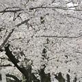 Photos: 天を覆う桜