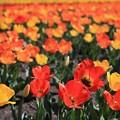 写真: 春の陽に輝くチューリップ