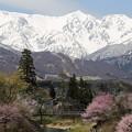 北アルプスと白馬の桜
