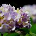 儚い紫陽花II