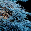 Photos: 桜~灯りの小径~