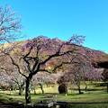 Photos: 桜~fret.大室山~