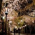 Photos: 夜桜回廊