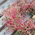 Photos: ミズキの花序のリース