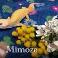 写真: ミモザと花束