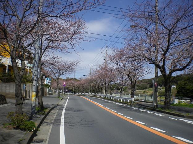 横須賀_野比_通研通り_桜状況20130321_01