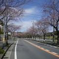 Photos: 横須賀_野比_通研通り_桜状況20130321_01