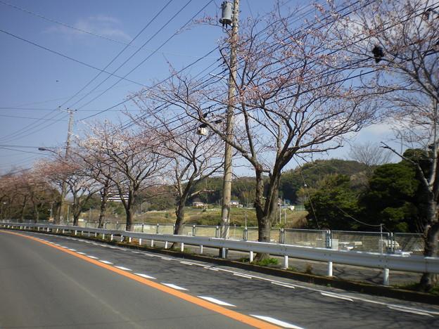 横須賀_野比_通研通り_桜状況20130322_02