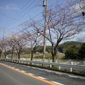 Photos: 横須賀_野比_通研通り_桜状況20130322_02