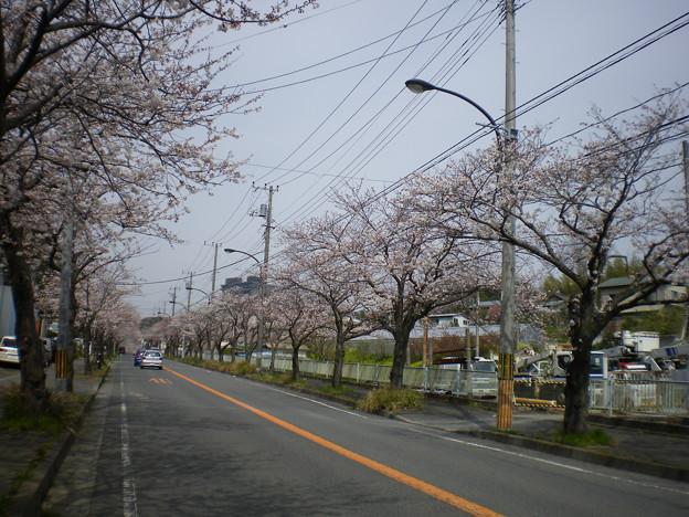 横須賀_野比_通研通り_桜状況20130323_02