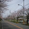 Photos: 横須賀_野比_通研通り_桜状況20130323_02