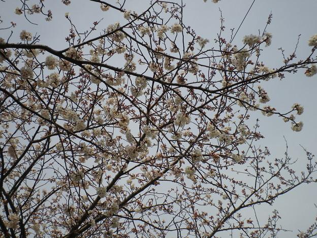 横須賀_野比_通研通り_桜状況20130323_03