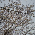 Photos: 横須賀_野比_通研通り_桜状況20130323_03