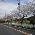 横須賀_野比_通研通り_桜状況20130326_01