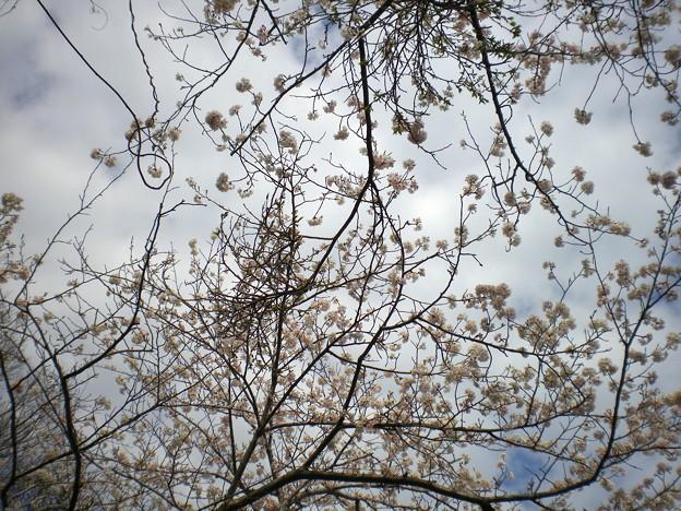 横須賀_野比_通研通り_桜状況20130326_03