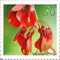 <花切手*落葉低木・アメリカデイゴの花>