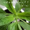 Photos: 2012*7*27嵐學ひまわり♪ こっこれは、もしかして、つぼみの赤ちゃん??(≧◇≦)