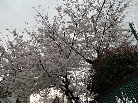 桜が満開ですね