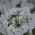 可愛い白いお花(クリンソウ)