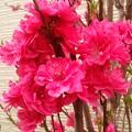 鮮やかなピンクの桜